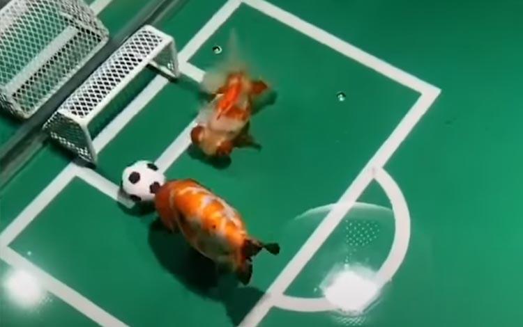 Ikan mas main sepakbola